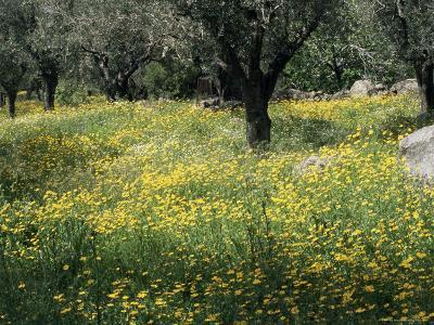 Olive Grove with Wild Flowers, Lesbos, Greece-Roy Rainford-Photographic Print