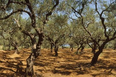 Olive Grove, Zante, Greece-David Parker-Photographic Print