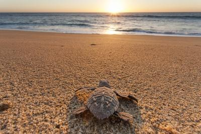 Olive Ridley Turtle Hatchling, Baja, Mexico-Paul Souders-Photographic Print