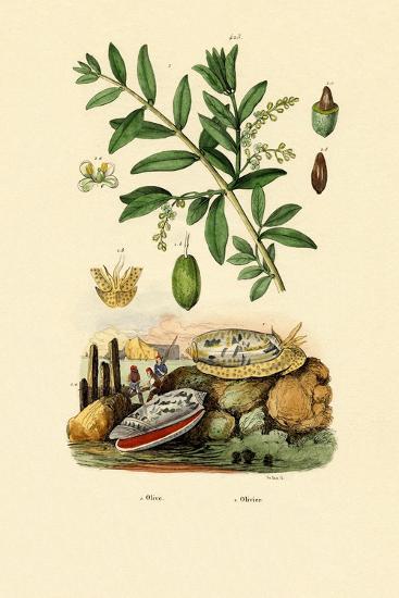 Olive Shell, 1833-39--Giclee Print
