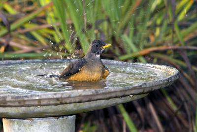 Olive Thrush Bathing in Birdbath-Alan J. S. Weaving-Photographic Print