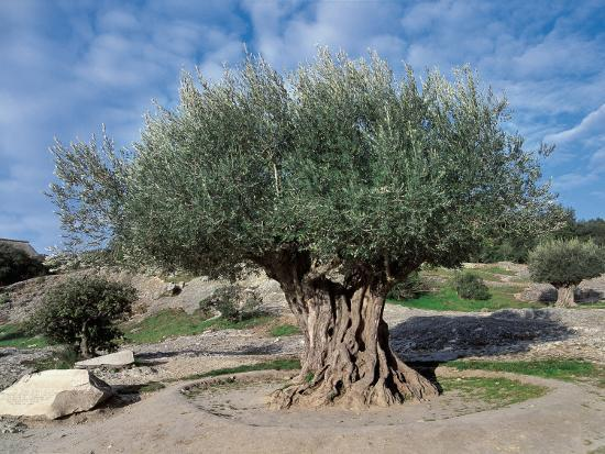 Olive Tree in the Forest (Olea Europaea)-C^ Sappa-Photographic Print