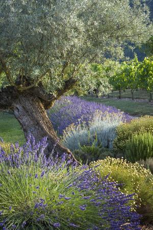Olive Tree, Lavender and Grapevines in Gardem, Midi-Pyrenees, France-Brian Jannsen-Premium Photographic Print