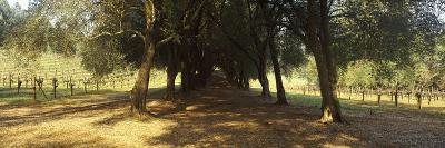 Olive Trees in a Vineyard, Schramsberg Vineyards, Calistoga, Napa Valley, California, USA--Photographic Print