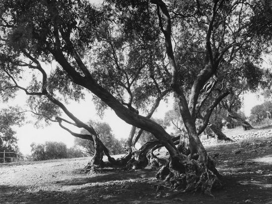 Olive Trees (Olea Europea), Tivoli--Photographic Print