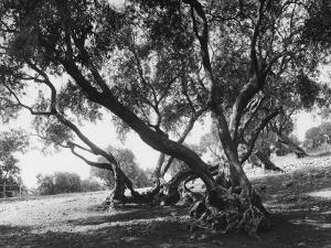 Olive Trees (Olea Europea), Tivoli