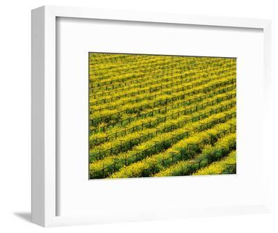 Field of Grapevines at Beckstoffer Vineyards, Napa Valley, California, USA
