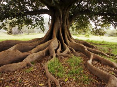 Fig Tree in Queens Park