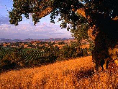 Firestone Vineyard in Background, Santa Ynez Valley, California
