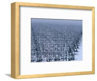 Snow Covered Vineyard in Monteforte Soave Classico, Florence, Italy