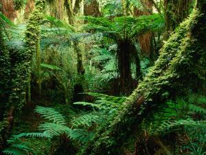 Trees and Ferns in Beech Forest, Oparara, New Zealand by Oliver Strewe