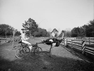 Oliver W., the Famous Trotting Ostrich, at Florida Ostrich Farm, Jacksonville, 1903--Photographic Print
