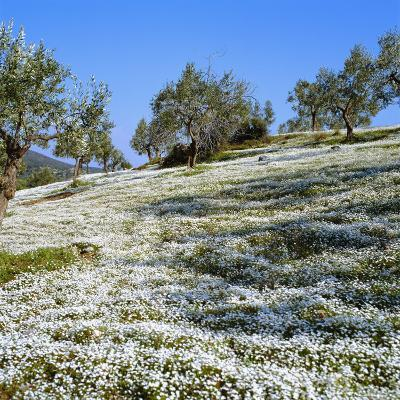 Olives Groves and Wild Flowers, Greece, Europe-Tony Gervis-Photographic Print