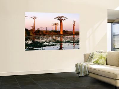 Baobab Trees (Adansonia Grandidieri Baobabs) Near Avenue Du Baobab