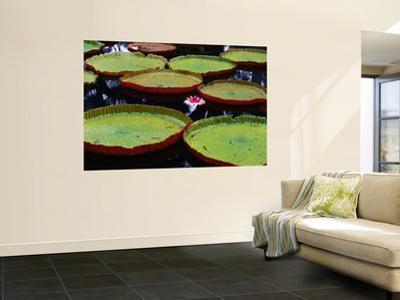 Giant Victoria Regia Water Lillies
