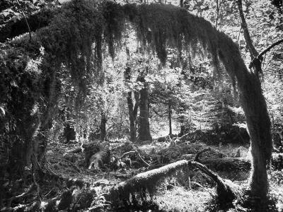 Olympic National Park Showing Rain Forest Conditions with Tree Bending under the Weight of Moss-Loomis Dean-Photographic Print