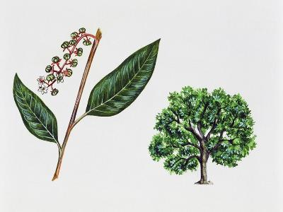 Ombu (Phytolacca Dioica), Phytolaccaceae, Tree, Leaves and Flowers--Giclee Print