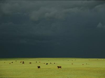 Ominous Storm Clouds Gather over a Field of Grazing Cattle-Peter Carsten-Photographic Print