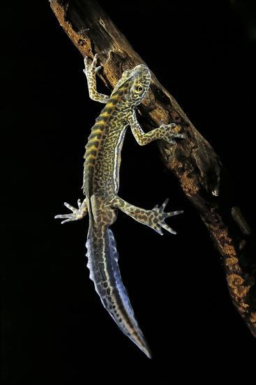 Ommatotriton Vittatus (Southern Banded Newt)-Paul Starosta-Photographic Print