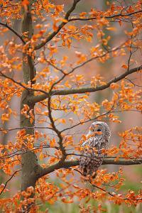 Grey Ural Owl, Strix Uralensis, Sitting on Tree Branch, at Orange Leaves Oak Autumn Forest, Bird In by Ondrej Prosicky