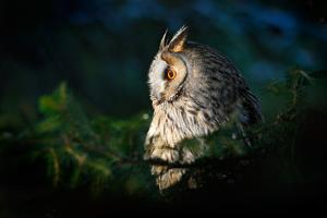 Long-Eared Owl Sitting on the Branch in the Fallen Larch Forest during Autumn. Wildlife Winter Scen by Ondrej Prosicky