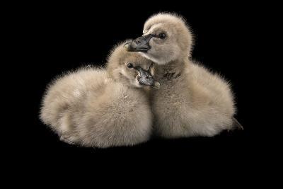 One Day Old Black Swans, Cygnus Atratus, at Sylvan Heights Bird Park-Joel Sartore-Photographic Print