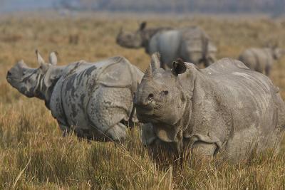 One-Horned Indian Rhinoceroses In Kaziranga National Park-Steve Winter-Photographic Print