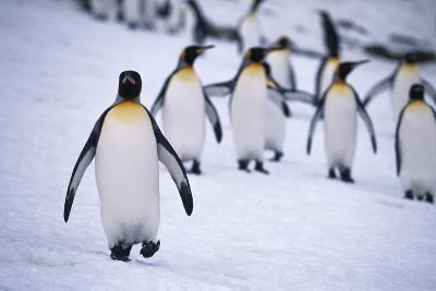 One King Penguin Walking Separately from the Others-DLILLC-Photographic Print