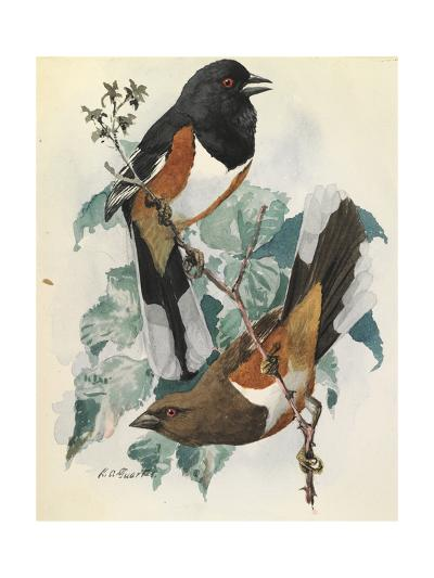 One Male and One Female Indigo Bunting Birds Perch on a Branch-Louis Agassi Fuertes-Art Print