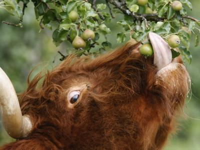 One of a Herd of Scottish Highland Cattle Picks Pears from a Tree in Gockhausen, Switzerland--Photographic Print