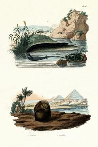 One-Toed Amphiuma, 1833-39