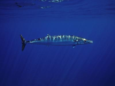 Ono or Wahoo (Acanthocybium Solandri) a Relative of the King Mackerel-David Fleetham-Photographic Print