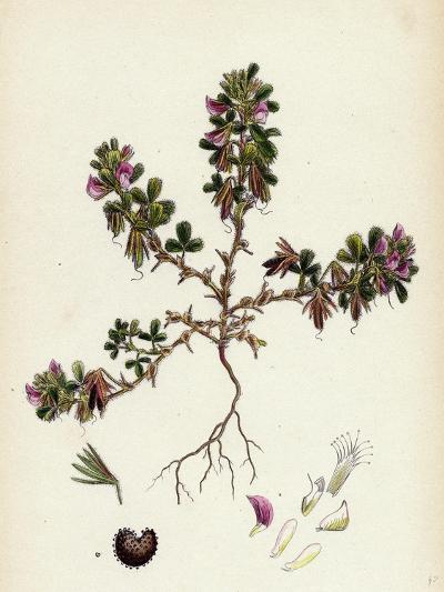 Ononis Reclinata Small Spreading Rest-Harrow--Giclee Print