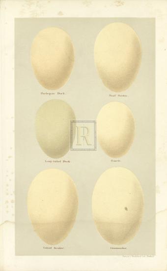 Oology VI-A^ Poiteau-Premium Giclee Print