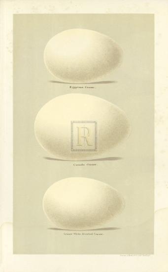 Oology VIII-A^ Poiteau-Premium Giclee Print