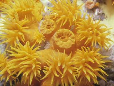Opened and Unopened Polyps of a Tube or Cup Coral, Tubastraea-David Fleetham-Photographic Print