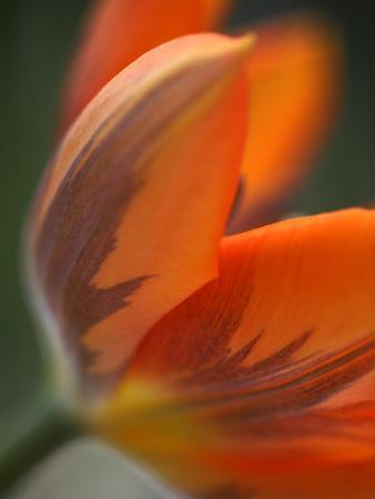 https://imgc.artprintimages.com/img/print/opened-orange-tulip_u-l-phycgp0.jpg?p=0