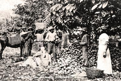 Opening Cocoa Pods, Trinidad, Trinidad and Tobago, C1900s-Strong-Giclee Print