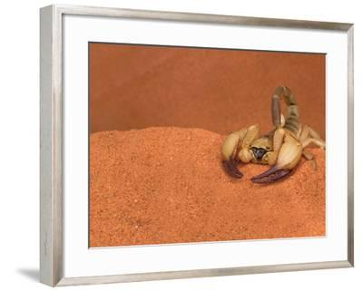 Opistophthalmus Wahlbergii Scorpion, Tswalu Kalahari Game Reserve, Northern Cape, South Africa-Ann & Steve Toon-Framed Photographic Print