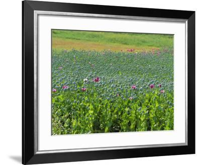 Opium Poppies are a Legal Crop for Production of Morphine, Sandinski, Bulgaria-Louise Murray-Framed Photographic Print