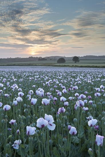 Opium Poppies Flowering in a Dorset Field, Dorset, England. Summer (July)-Adam Burton-Photographic Print