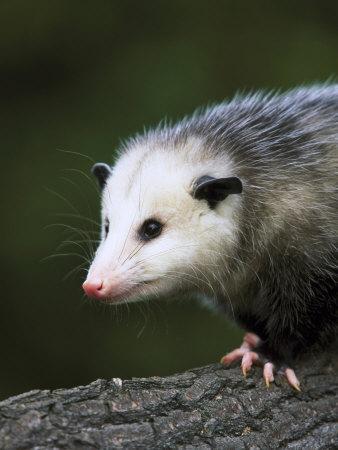 https://imgc.artprintimages.com/img/print/opossum-close-up-portrait-usa_u-l-q10r1vk0.jpg?p=0