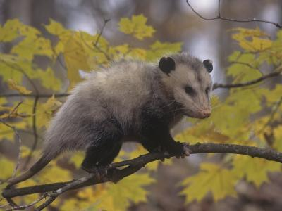 Opossum in a Tree in a Deciduous Forest, Didelphis Virginiana, USA-Gary Walter-Photographic Print