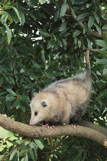 Opossum in Tree-DLILLC-Photographic Print