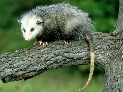 Opossum on Branch, USA-Mark Hamblin-Photographic Print