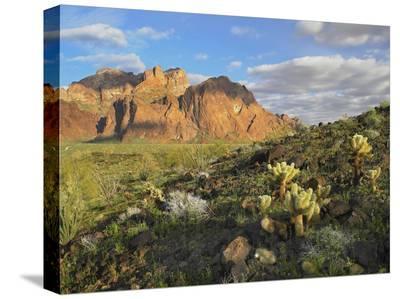 Opuntia cactus and other desert vegetation, Kofa National Wildlife Refuge, Arizona-Tim Fitzharris-Stretched Canvas Print