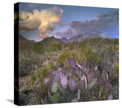 Opuntia cactus, Chisos Mountains, Big Bend National Park, Texas-Tim Fitzharris-Stretched Canvas Print