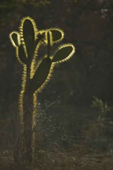 Opuntia Cactus with Spines Outlined by Sunlight-DLILLC-Photographic Print