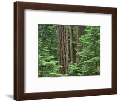 OR, Willamette NF. Middle Santiam Wilderness, Douglas fir giants rise above western hemlock-John Barger-Framed Photographic Print