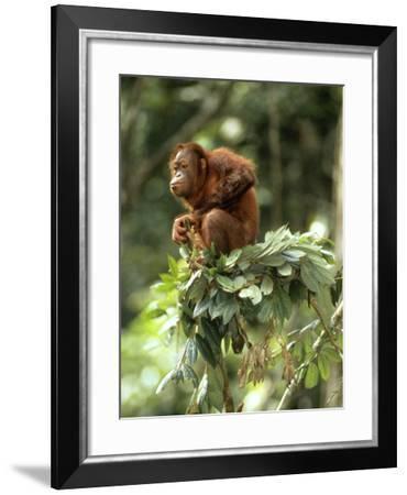Orang-Utan in Tree Nest--Framed Photographic Print